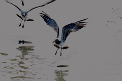 FLYING SEA GULLS (Lynne Mathison) Tags: seagulls oceangoingbirds