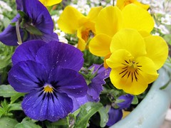 2012_03_24 Violas and Alyssum 002 (d_m_w) Tags: california flowers white home yellow march spring purple porch frontporch 2012 alyssum carmelvalley violas march2012 spring2012 ekoluhomestead