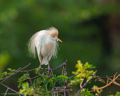 Cattle Egret in Breeding Plumage (Michael Pancier Photography) Tags: nature birds birding wetlands egret wako delraybeach palmbeachcounty cattleegret wakodahatcheewetlands breedingplumage commercialphotography naturephotographer michaelpancierphotography avianphotography landscapephotographer fineartphotographer michaelapancier