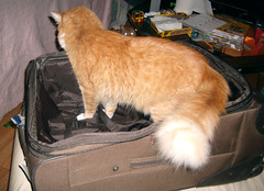 20101205 0439 - Oranjello in a suitcase, Lemonjello - soon - GEDC0135 (Rev. Xanatos Satanicos Bombasticos (ClintJCL)) Tags: alexandria animal cat virginia tail upstairs meme huge suitcase soon 2010 lemonjello clintandcarolynshouse oranjello catnipaddicts hugetail 201012 20101205 soonmeme