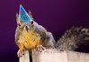 Happy Birthday! (Peggy Collins) Tags: birthday photoshop squirrel britishcolumbia happybirthday bo sunshinecoast douglassquirrel funnysquirrels peggycollins funnysquirrelpictures birthdaysquirrel