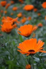 Gerbera (stormchaseroosteeklo) Tags: orange flower nature closeup nikon kitlens gerbera oranje bloem rieme d3100