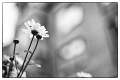 Spider trap (Håkan Dahlström) Tags: bw white flower se skåne sweden sverige uncropped f25 2012 helsingborg fav10 skånelän ef50mmf25compactmacro canoneos5dmarkii slottshöjden ¹⁄₂₀₀sek 1924062012154132redigera
