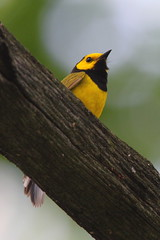Hooded Warbler (TheNatureDude) Tags: hoodedwarbler palosforestpreserve illinoisbirds
