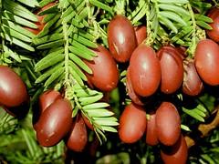 Cephalotaxus fortunei Hook. 1840 (TAXACEAE) (helicongus) Tags: spain taxaceae cephalotaxus cephalotaxusfortunei jardínbotánicodeiturraran