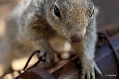 The Beggar - he ran up to the camera thinking it was food, guess he's used to people feeding him (beachkat1) Tags: trip travel vacation arizona southwest squirrel grandcanyon 2012 rimtrail