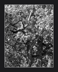 Two Burr Oak Trees, 1 (cayugahull08) Tags: bw tree leaves oak kansas topeka steveclark burroak blackandwhiteonly