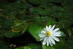 Pure (yvone042488) Tags: summer white flower green love nature water yellow waterlily bokeh pure