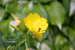 DSC_0106 (Joe Raffa) Tags: plant flower nature yellow bug