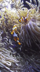 Clownfish (Amphiprion sp.), Auckland War Memorial Museum (LadyBiosphere) Tags: trip travel family newzealand brown holiday fish color colour cute tourism animal marine clownfish  animalia  findingnemo 2012   amphiprion aucklandwarmemorialmuseum  speciesidentification    fujifilmfinepixs2980 ladybiosphere finepix