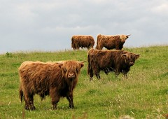 A Fold Of Highland Cattle (ufopilot) Tags: scotland cow cattle highland bute