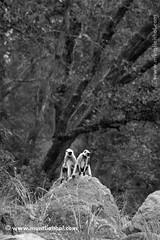 www.muraliaithal.com (Aithal's) Tags: blackandwhite white black monochrome digital canon eos rebel wildlife 70300mm canoneos xsi murali kanha wildlifephotography indianwildlife kanhanationalpark canon70300mmis 450d canon70300mmisusm canon450d aithal canonrebelxsi rebelxsi canondigitalrebelxsi aithals