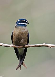 Whiskered Treeswift  (Female) - Hemiprocne comata (2)
