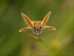 Small Skipper (Grasping-air) Tags: bravo