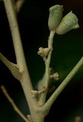 Lunasia amara, Palmetum, Townsville, QLD, 15/07/12 (Russell Cumming) Tags: plant queensland townsville rutaceae palmetum lunasiaamara lunasia