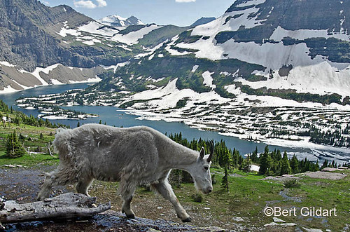 GlacierGoats (12 of 1)