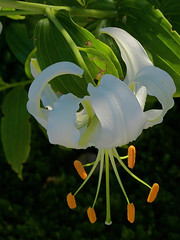 The Upside-Down Lilies Are Out At Eastman (+David+) Tags: droopy asianlily eastmanhousegarden