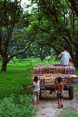 follow (Jibran Bashir Z) Tags: india mango incredible pradesh uttar