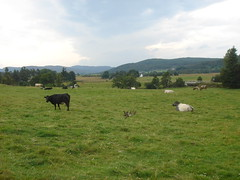 Highland grazings (Sibad) Tags: landscape scotland cows meadows ducks grazing bocage strathnairn