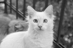 IMG_0386 (deadoll) Tags: blackandwhite bw cats cute love cat canon fur 50mm blackwhite furry kat feline chat amor adorable kitty kittens pb 7d gata felinos felino felines neko katze fofo gatto pretoebranco babys gatti pur 50mmf14 gatas canon50mm canon7d