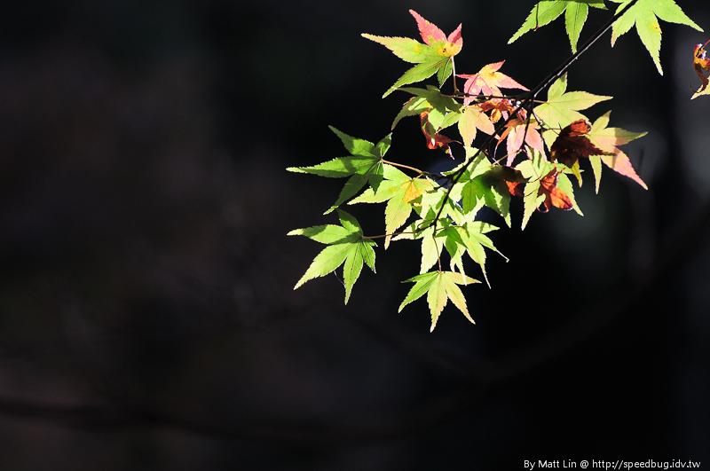 福壽山農場楓紅-12
