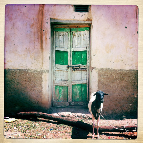 A Goat In front Of A Green Door, Baligubadle, Somaliland