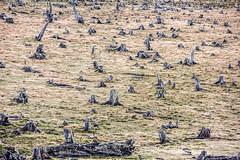 Dry (Gigin - NoDigital) Tags: chile trees santacruz plant nature argentina branch geography peritomoreno elcalafate puertovaras centralandsouthamerica loslagosregion
