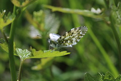 In the Greenery:  Lady Orange-tip (raggi di sole) Tags: england white nature beautiful female butterfly spring pattern staines orangetip anthochariscardamines underwing pieridae