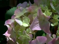IMG_8697.CR2 (jalexartis) Tags: flowers flower spring bloom hydrangea blooms shrub shrubbery pinkhydrangea