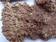 Anaptychia runcinata (aburgh) Tags: scotland argyll lichens heathland portappin foliose anaptychia lichenherbarium rhododendronthicket