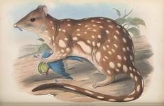 n249_w1150 (BioDivLibrary) Tags: australia mammals pictorialworks zoology smithsonianlibraries bhl:page=49738243 dc:identifier=httpbiodiversitylibraryorgpage49738243 taxonomy:binomial=dasyurusmaculatus taxonomy:common=tigerquoll nearthreatened marsupials