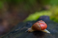 Snail (Role Bigler) Tags: nature animal fauna forest schweiz switzerland tiere suisse bokeh natur snail slug wald schnecke emmental stylommatophora bokelicious nationalgeographicwildlife canoneos5dsr tamronsp45mmf18divcusd