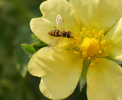 hoverfly on Sulfur Cinquefoil (foxtail_1) Tags: hoverfly cinquefoil potentillarecta flowerfly sulfurcinquefoil