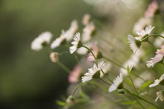 Lovely daisies ( Explored 2016-06-01) (Gisou68Fr) Tags: flowers nature fleurs bokeh italie lombardie nesso erigeronkarvinskianus naturalisées