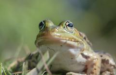 Kermit (jacobsfrank) Tags: macro nature water nikon flickr groen belgium belgie natuur frog kikker amfibie jacobsfrank frankjacbobs