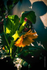 flowers XIX (imagomagia) Tags: flowers sunset art yellow composition artphoto artphotography conceptualphotography
