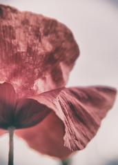 (Luigi.glpy) Tags: vintage dettagli fiori rosso