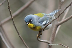 Northern Parula (Natty Abrahams) Tags: tree bird nature birds animal animals outdoors bill singing outdoor wildlife birding perch mageemarsh