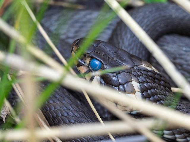 黒蛇の正体とは?|日本で見かける蛇の種類3つとその特徴