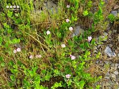 Ackerwinde (Convolvulus arvensis) (warata) Tags: flower fleur germany deutschland pflanze blume blte pinkflowers 2016 convolvulusarvensis wildblumen wildblume wildpflanze ackerwinde