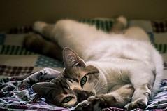 Olhos de gata! (vane.curci) Tags: cat gatos felinos animais
