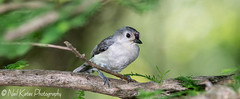 Tufted Titmouse_DSC0679 photoshop NIK edit  (nkatesphotography) Tags: nature birds wildlife tuftedtitmouse naturecenter peacevalleypark nikond4 fountainvillepa nikon200500mmf56