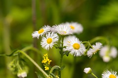 7K8A1675 (rpealit) Tags: mountain flower nature scenery wildlife management area daisy sparta fleabane