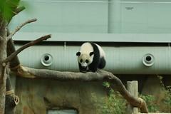 10-month-old Nuan Nuan () 2016-06-17 (kuromimi64) Tags: bear zoo panda malaysia nationalzoo kualalumpur giantpanda   zoonegara     fengyi   liangliang nuannuan selangordarulehsan  zoonegaramalaysia