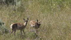 "Pronghorn Antelope fawns • <a style=""font-size:0.8em;"" href=""http://www.flickr.com/photos/63501323@N07/27837583485/"" target=""_blank"">View on Flickr</a>"