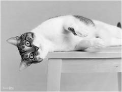 Lola y sus siestas...(bis) (Troylo@stur) Tags: bw byn blancoynegro cat blackwhite eyes lola ojos gato silla gata