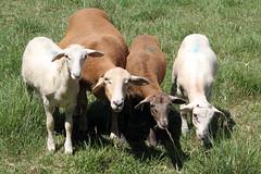 Together (baalands) Tags: grass hair sheep farm pasture lambs grazing katahdin ewe
