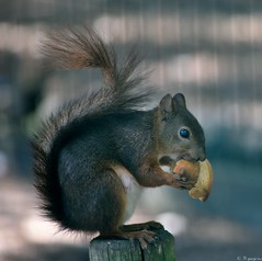Mon 1er cureuil (Mystycat =^..^=) Tags: animal pain squirrel bordeaux parc cureuil aquitaine gironde parcbordelais caudran