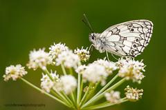 Marbled White (ABPhotosUK) Tags: macro animals canon wildlife butterflies lepidoptera devon nocrop dartmoor invertebrates nymphalidae marbledwhite rivertavy ef25mmextensiontube eos7dmarkii ef100400mmisii