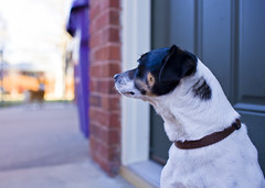 Wondering (Chase Hoffman) Tags: dog chien color cute co 35mm canon eos colorado dof leo bokeh wideangle canine denver depthoffield perro terrier cao hund gae ratterrier cobaka inu kau gau canis sobaka canonef35mmf14lusm chasehoffman canoneos5dmarkii ku gu chasehoffmanphotography